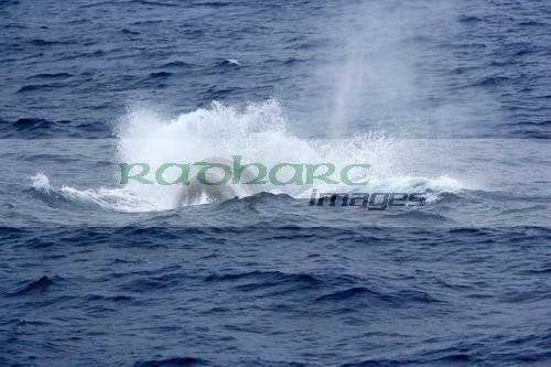 Blue whales in the Drake Passage