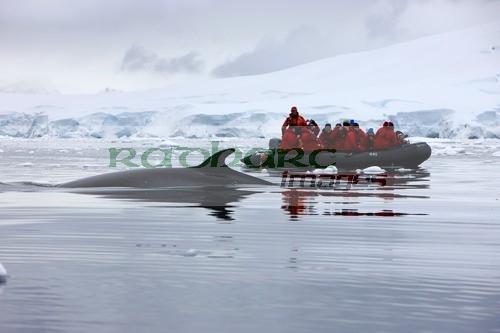 Minke whale swimming past zodiac