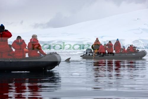 Minke whales swimming between zodiacs
