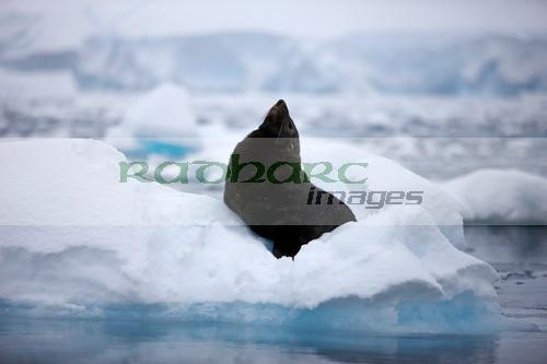 defensive display of juvenile fur seal