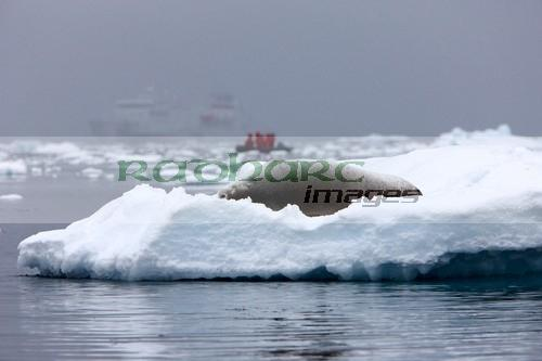 crabeater seal lying on an iceberg