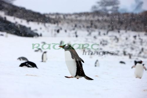 Gentoo penguins on Cuverville Island