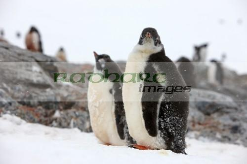 juvenile gentoo penguins with downy feathers on Cuverville Island