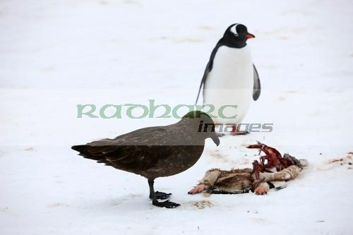 Skua stalking penguins in Antarctica