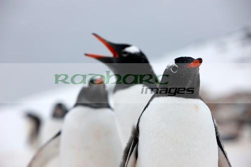 Gentoo penguin entourage on Cuverville Island