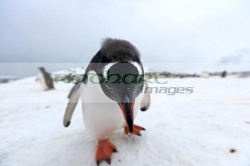 inquisitive juvenile gentoo penguin in Antarctica