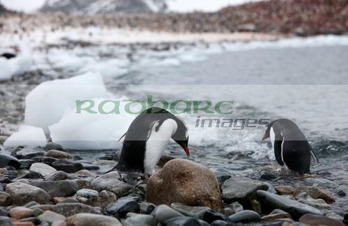 Gentoo penguins on Cuverville island