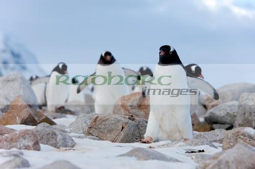 Gentoo penguins on the march Neko Harbour Antarctica