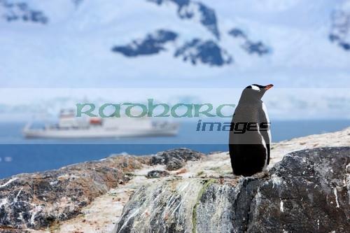 Gentoo penguin overlooking Neko Harbour Antarctica