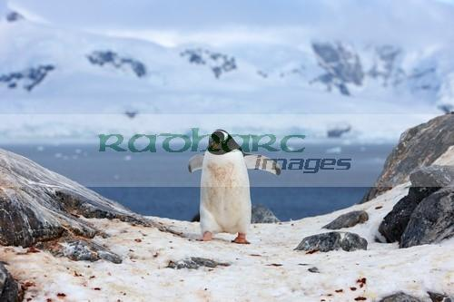 Gentoo penguin doing circuits Neko Harbour Antarctica