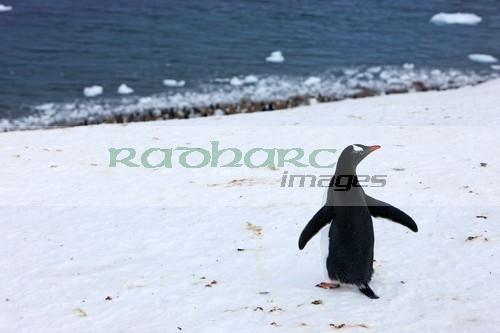 Gentoo penguin above Neko Harbour Antarctica