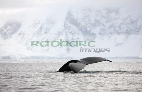 humpback whale lifting its tail above surface of Wilhelmina Bay Antarctica
