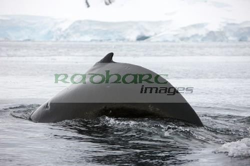 large male Humpback whale with arched back diving in Wilhelmina Bay Antarctica