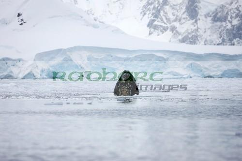 mouth of humpback whale breaking surface whilst feeding in wilhelmina bay Antarctica