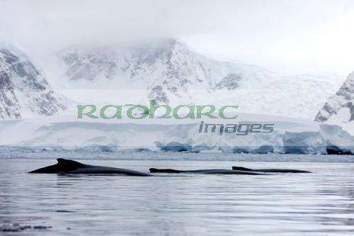 family of three humpback whales male female and juvenile on surface of Wilhelmina Bay Antarctica