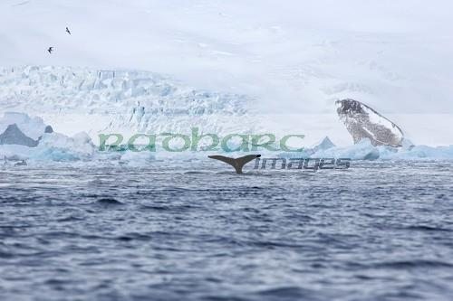 humpback whale lifting its tail above surface of cierva cove Antarctica