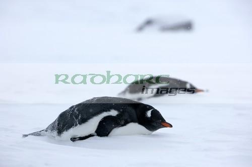 two gentoo penguins lying down in snowstorm blizzard whalers bay deception island Antarctica