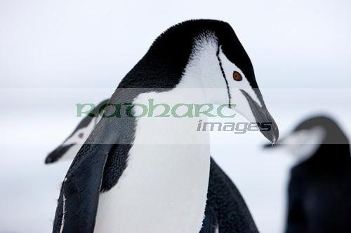 chinstrap penguins closeup with eye prominent on hannah point Antarctica