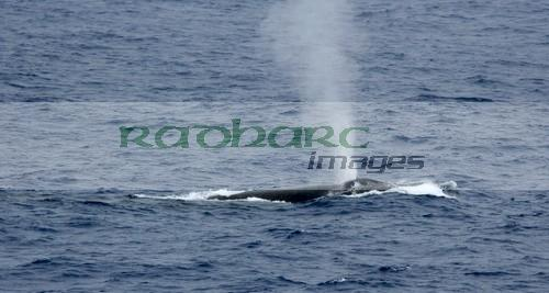 Blue whale breathing in the Drake Passage