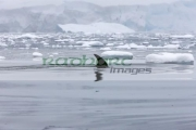 minke-whale-surfacing-with-dorsal-fin-in-fournier-bay-antarctica
