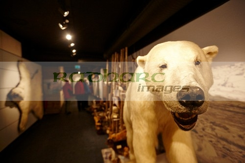 stuffed polar bear at the museum of the royal and ancient polar bear society hammerfest norway europe