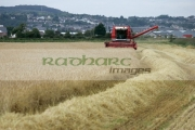 Massey-Ferguson-red-combine-harvester-in-wheat-field-newtownards,-county-down,-northern-ireland