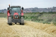 Massey-Ferguson-red-tractor-trailer-in-wheat-field-newtownards,-county-down,-northern-ireland