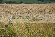 barley-crop-in-field-ready-for-harvesting-county-donegal-republic-ireland