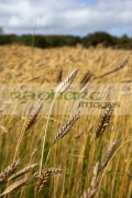 closeup-head-barley-crop-in-field-ready-for-harvesting-county-donegal-republic-ireland