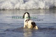springer-spaniel-dog-waiting-in-water-for-owner-who-is-surfing-on-the-beach-white-rocks-beach-portrush-county-antrim,-northern-ireland