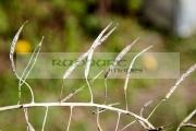 dried-kale-seed-pods-in-garden-in-Newtownabbey-Northern-Ireland-UK