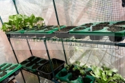 growing-spinach-other-vegetables-in-cheap-small-greenhouse-at-home-hobby-during-coronavirus-lockdown-plants-garden-Newtownabbey-Northern-Ireland-UK