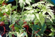 shop-bought-tomato-plants-in-garden-during-coronavirus-lockdown-for-growing-veg-at-home-Newtownabbey-Northern-Ireland-UK