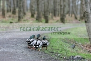 Wild-ducks-on-woodland-path-on-free-range-farm-in-County-Armagh-Northern-Ireland-as-fear-an-outbreak-the-avian-bird-flu-H5N1-in-the-UK-increases.-It-is-feared-that-migrating-wild-birds-will-bring-the-disease-to-the-UK-domestic-stocks.