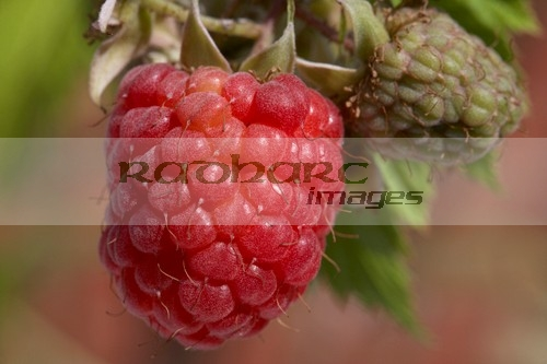 home grown raspberries