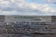 wild-birds-including-ducks-black_headed-gulls-on-the-shore-at-ballyronan-lough-neagh-County-Tyrone-Northern-Ireland