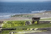 cow-standing-on-algae-growing-on-rocky-shoreline-county-sligo-republic-ireland