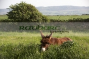 single-brown-donkey-in-field-county-sligo-republic-ireland