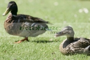 female-mallard-duck-anas-platyrhynchos-laysan-teal-in-background,-Castle-Espie,-County-Down,-Northern-Ireland.