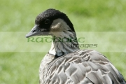 Endangered-NeNe-Ne-Ne-hawaiian-goose-Branta-sandvicensis,-castle-espie,-county-down,-northern-ireland