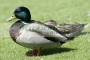 male-mallard-duck-anas-platyrhynchos,-castle-espie,-county-down,-northern-ireland.