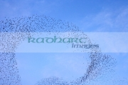flock-starlings-flying-in-murmuration-over-belfast-northern-ireland-uk-motion-action-blur