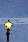 flock-starlings-flying-in-murmuration-over-lamp-on-albert-bridge-belfast-northern-ireland-uk