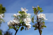 apple-blossoms-on-discovery-apple-tree
