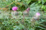 spear-thistle-cirsium-vulgare-with-water-lets-lisburn-northern-ireland-uk