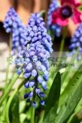 grape-hyacinths-muscari-growing-in-garden-in-the-uk