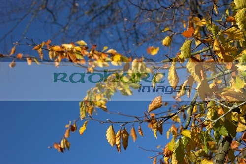 autumn in ireland - dying leaves on the trees