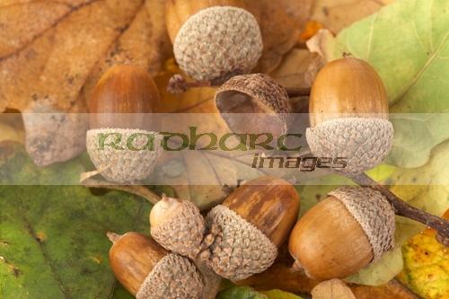 autumn in ireland - acorns and oak leaves