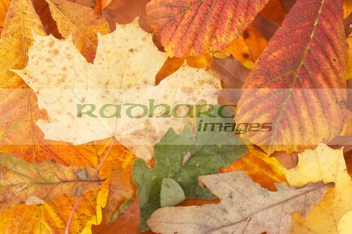 autumn in ireland - mixed autumn leaves