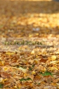 fallen-brown-yellow-gold-autumn-leaves-lying-on-grass-in-the-grounds-belfast-city-hall